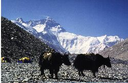 Yak´s im Basislager 5.200 m am Fuß des Mount Everest